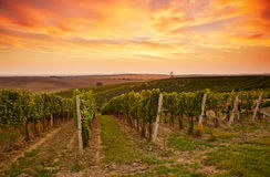 Vineyard landscape in Moravia Royalty Free Stock Images