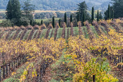 Vineyard landscape. Vineyard plantation during autumn. Full yellow and orange changing leaves Royalty Free Stock Photo