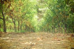 Vineyard landscape with ripe grapes at sun light. Stock Photography