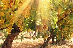 Vineyard landscape with ripe grapes at sun light. Vineyard landscape with ripe grapes at sun light royalty free stock photos