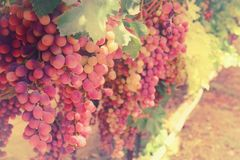 Vineyard landscape with ripe grapes at sunlight. Royalty Free Stock Photos