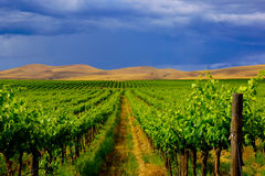 Vineyard Landscape Rolling Hills against Dark Sky. Rows of dark green grape vines set against golden-yellow rolling hills under threatening rain clouds.  Yakima Stock Photography