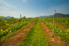 Vineyard landscape. And sky in Thailand Stock Photos