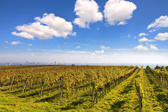Vineyard landscape with the skyline of Vienna Royalty Free Stock Photo