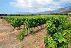 Vineyard landscape - South Africa Royalty Free Stock Images