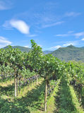 Vineyard Landscape,South Tirol,Italy Royalty Free Stock Photography