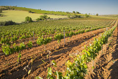 Vineyard landscape in spring. Royalty Free Stock Images