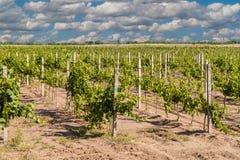 Vineyard landscape Stock Images