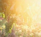 Vineyard landscape at sunset light. vintage filtered image Royalty Free Stock Photos