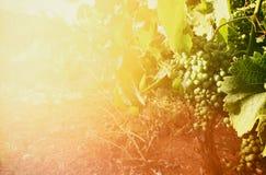 Vineyard landscape at sunset light. vintage filtered image Royalty Free Stock Photo