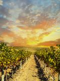 Vineyard landscape with sunset sky stock image
