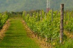 Vineyard landscape. In Thailand Royalty Free Stock Photos