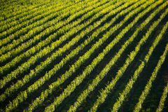 Vineyard landscape in Tuscany, Italy Stock Photography