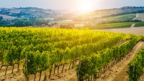 Vineyard landscape in Tuscany, Italy. Tuscany vineyards are home to the most notable wine of Italy royalty free stock photography