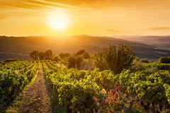 Vineyard landscape in Tuscany, Italy. Wine farm at sunset stock photos