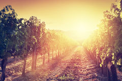 Vineyard landscape in Tuscany, Italy. Wine farm at sunset Royalty Free Stock Photo