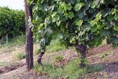 Vineyard landscape Royalty Free Stock Photos