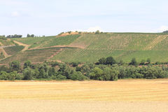 Vineyard. A landscape with vineyards, cornfields and woods stock image