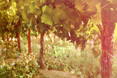 Vineyard landscape. vintage filtered image. Royalty Free Stock Photos