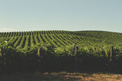 Vineyard Landscapes Stock Image