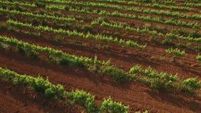 Vineyard Lanes at Sunset Aerial View stock footage