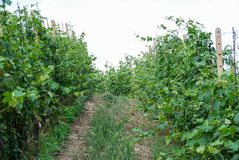 Vineyard of Langhe, Piedmont - Italy Stock Images