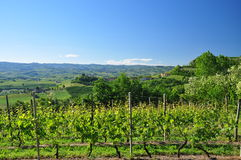 Vineyard in Langhe region, Piemonte, Italy. Royalty Free Stock Images