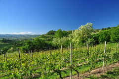 Vineyard in Langhe region, Piemonte, Italy. Royalty Free Stock Photo