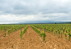 Vineyard in Languedoc-Roussillon (France) Stock Images