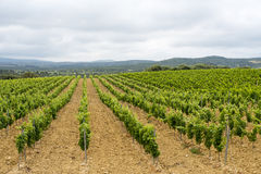 Vineyard in Languedoc-Roussillon (France). Vineyard in Languedoc-Roussillon, France, between Narbonne and Perpignan, at spring (june). Travelling by bicycle royalty free stock photo