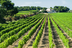 Vineyard in Languedoc-Roussillon (France) Royalty Free Stock Image