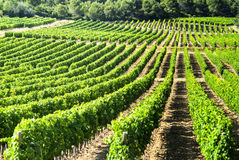 Vineyard in Languedoc-Roussillon (France) Royalty Free Stock Photography
