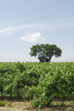 Vineyard in Languedoc-Roussillon (France) Royalty Free Stock Photos