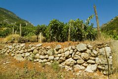 Vineyard lanscape in Croatia Royalty Free Stock Photo