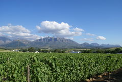 Vineyard lanscape Western Cape Royalty Free Stock Images