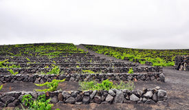 Vineyard on Lanzarote Stock Photos