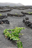 Vineyard on Lanzarote Royalty Free Stock Image