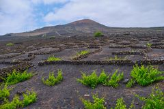 Vineyard in Lanzarote, Canary Islands stock photography