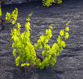 A vineyard in Lanzarote, growing on volcanic soil Royalty Free Stock Images