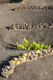 A vineyard in Lanzarote, growing on volcanic soil Royalty Free Stock Photos