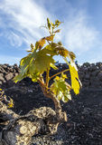Vineyard in Lanzarote, growing on volcanic soil Royalty Free Stock Photography