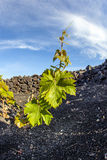 Vineyard in Lanzarote island, Stock Photo