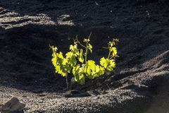 Vineyard in Lanzarote island Royalty Free Stock Images