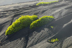 A vineyard in Lanzarote island, Royalty Free Stock Images