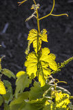 Vineyard in Lanzarote island, growing on volcanic soil Stock Images