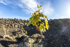 Vineyard in Lanzarote island, growing on volcanic soil Royalty Free Stock Photos