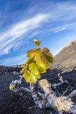 Vineyard in Lanzarote island, growing on volcanic soil Stock Photo