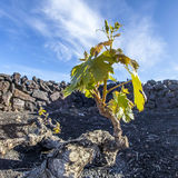 Vineyard in Lanzarote island, growing on volcanic soil royalty free stock image