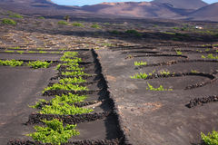 Vineyard in Lanzarote Royalty Free Stock Images