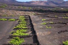 Vineyard in Lanzarote Royalty Free Stock Images
